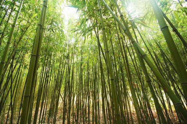 What is Bamboo? | Definition of Bamboo | Bamboo Fabrics ...